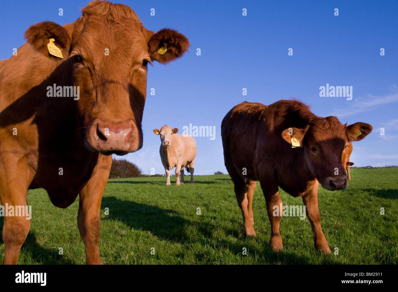Close-up of cattle, north Exmoor, Devon, UK - Stock Image