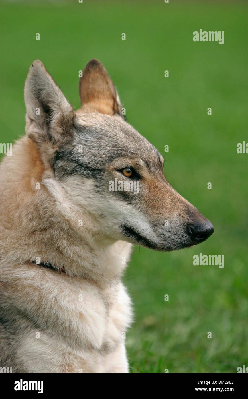 tschechisch slowakischer wolfshund