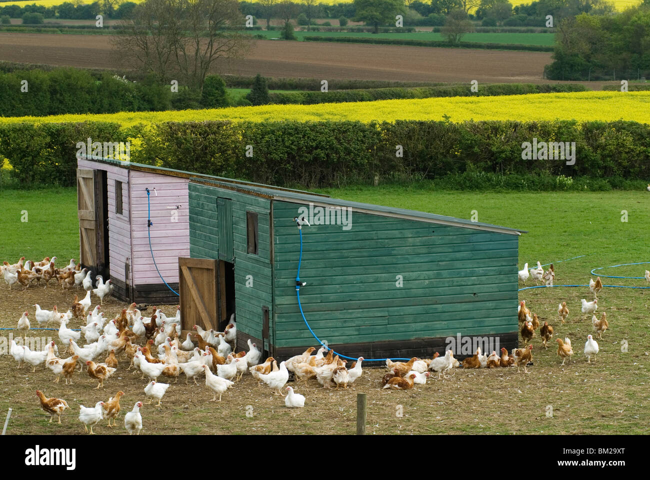 Poultry farm Leicestershire Free range chickens. HOMER SYKES - Stock Image