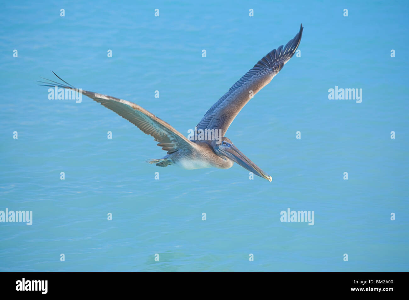 Pelican flying over sea, Key West, Florida, USA - Stock Image