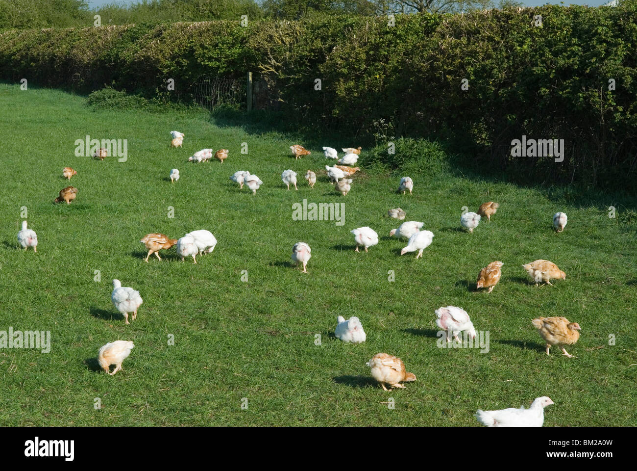 Free range chickens. Chicks Leicestershire HOMER SYKES - Stock Image