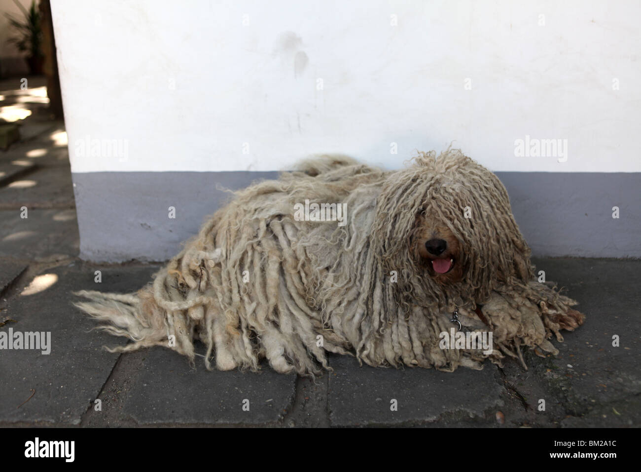 A Puli or Hungarian Water Dog known for its corded coat, similar to dreadlocks in Kecskemét, Hungary, Europe. - Stock Image