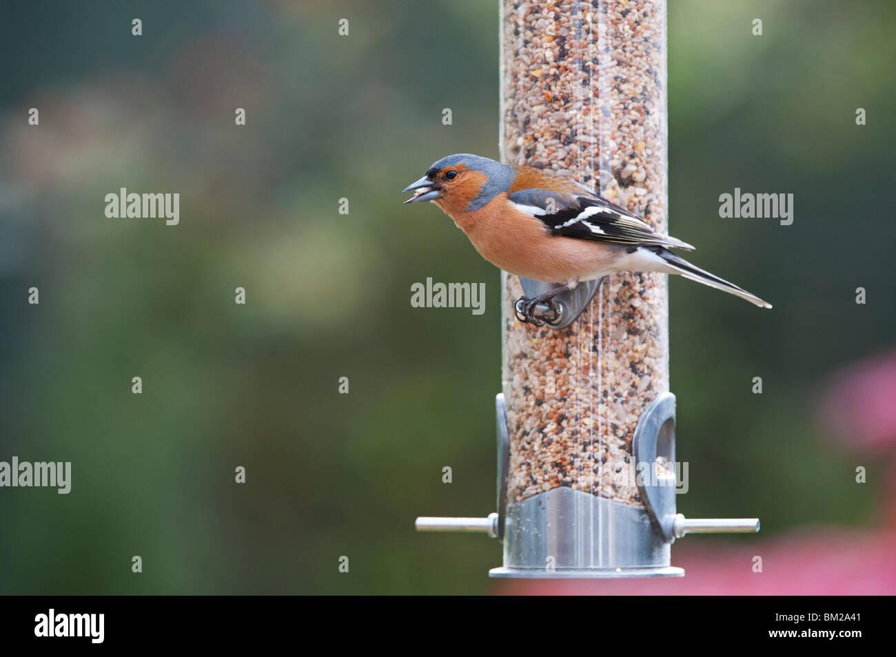 Fringilla Coelebs. Male chaffinch feeding on a bird seed feeder - Stock Image