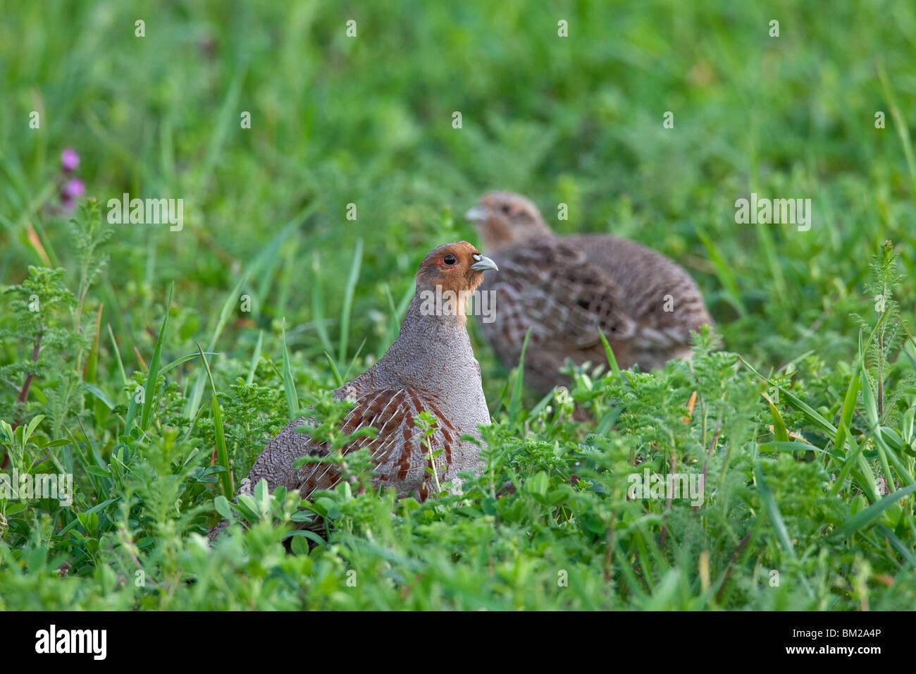 Grey Partridge (Perdix perdix) couple foraging in field, Germany - Stock Image