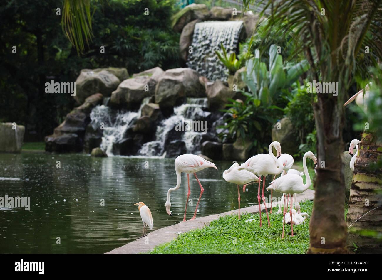 Flamingo, KL Bird Park, Kuala Lumpur, Malaysia, Southeast Asia - Stock Image