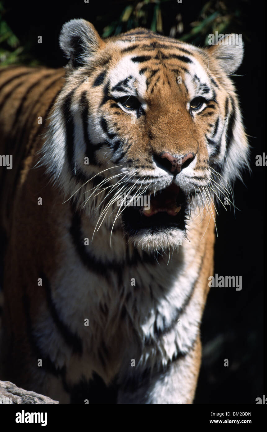 Close-up of a tiger (Panthera tigris) snarling - Stock Image