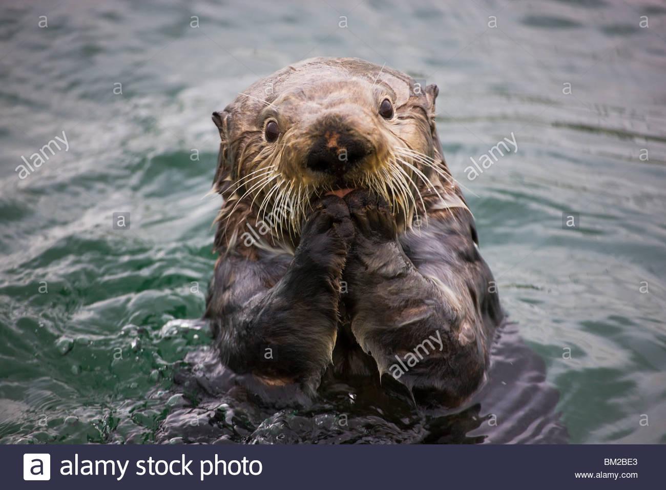 Sea Otter (Enhydra lutris), Cordova, Alaska - Stock Image