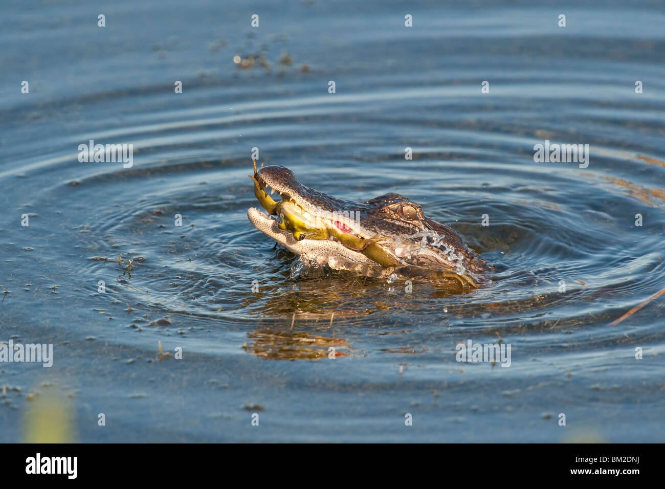 A small Alligator eating a large frog - Stock Image