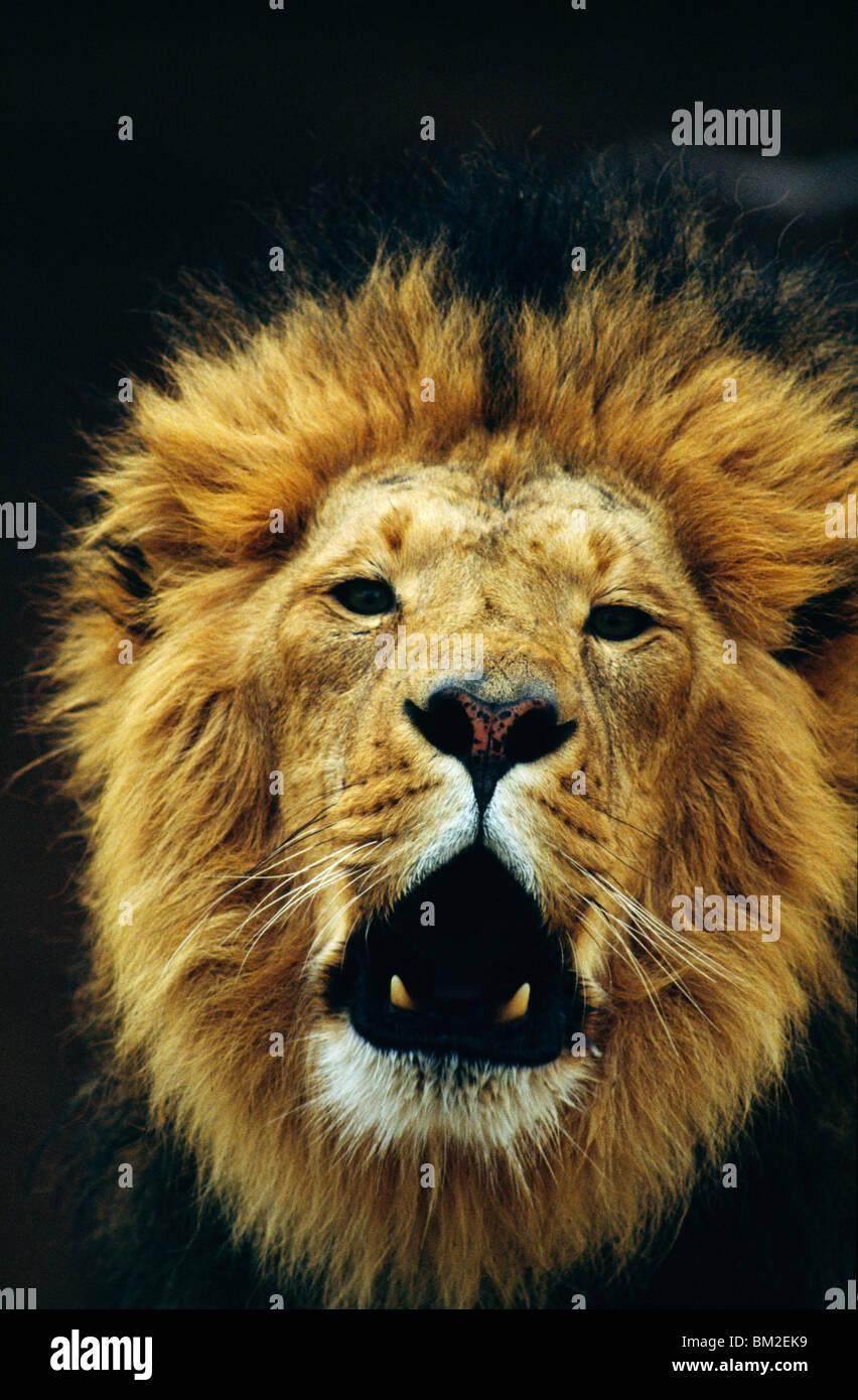 Close-up of a lion (Panthera leo) snarling - Stock Image