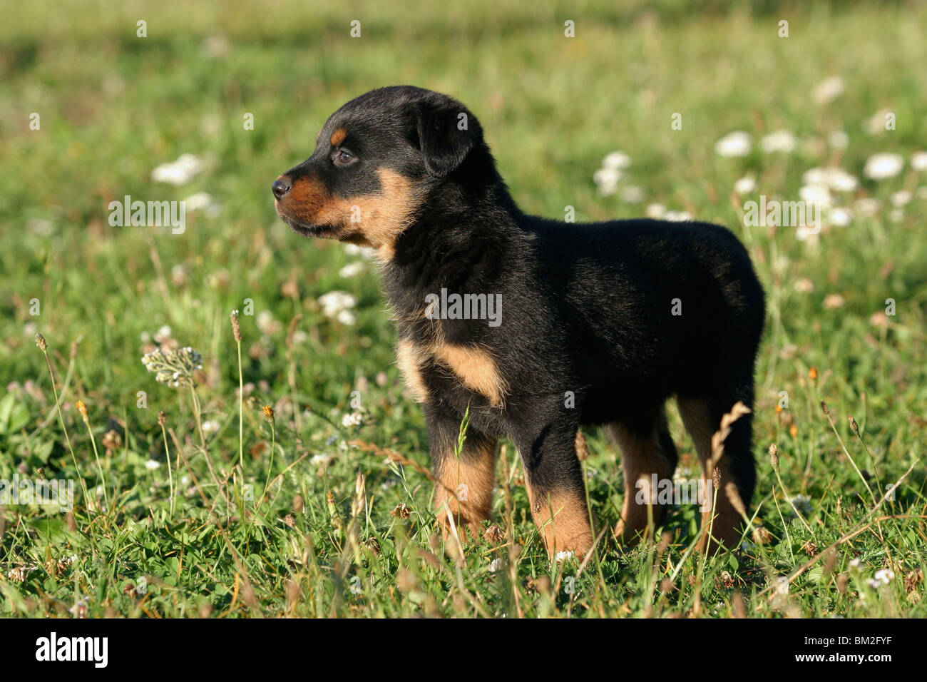 Rottweiler Mix Stock Photos Rottweiler Mix Stock Images Page 2