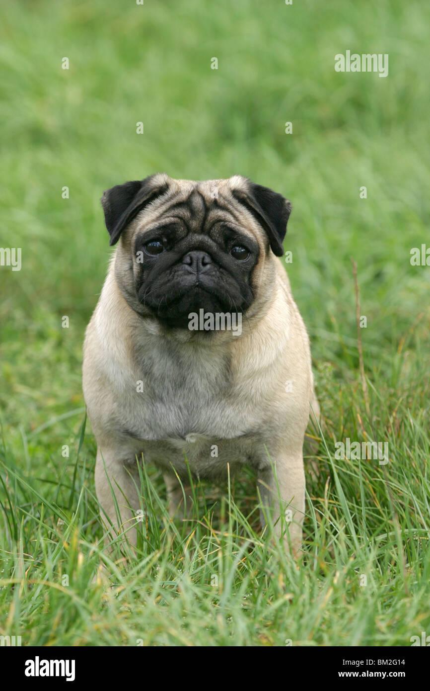 Sitzender Mops Im Gras Sitting Pug Stock Photo 29559968 Alamy