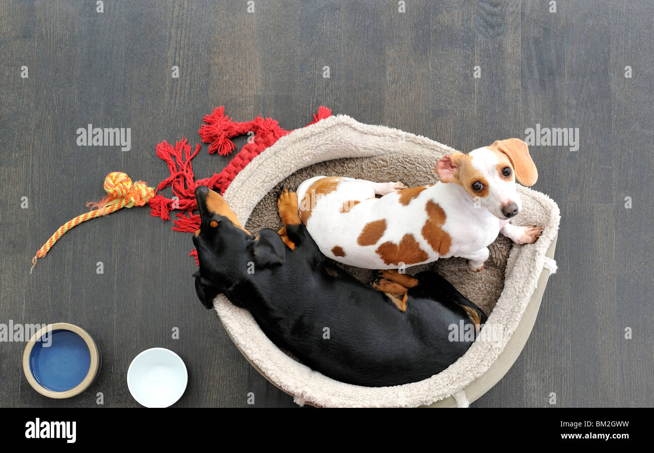 Two dachshunds in their bed - Stock Image