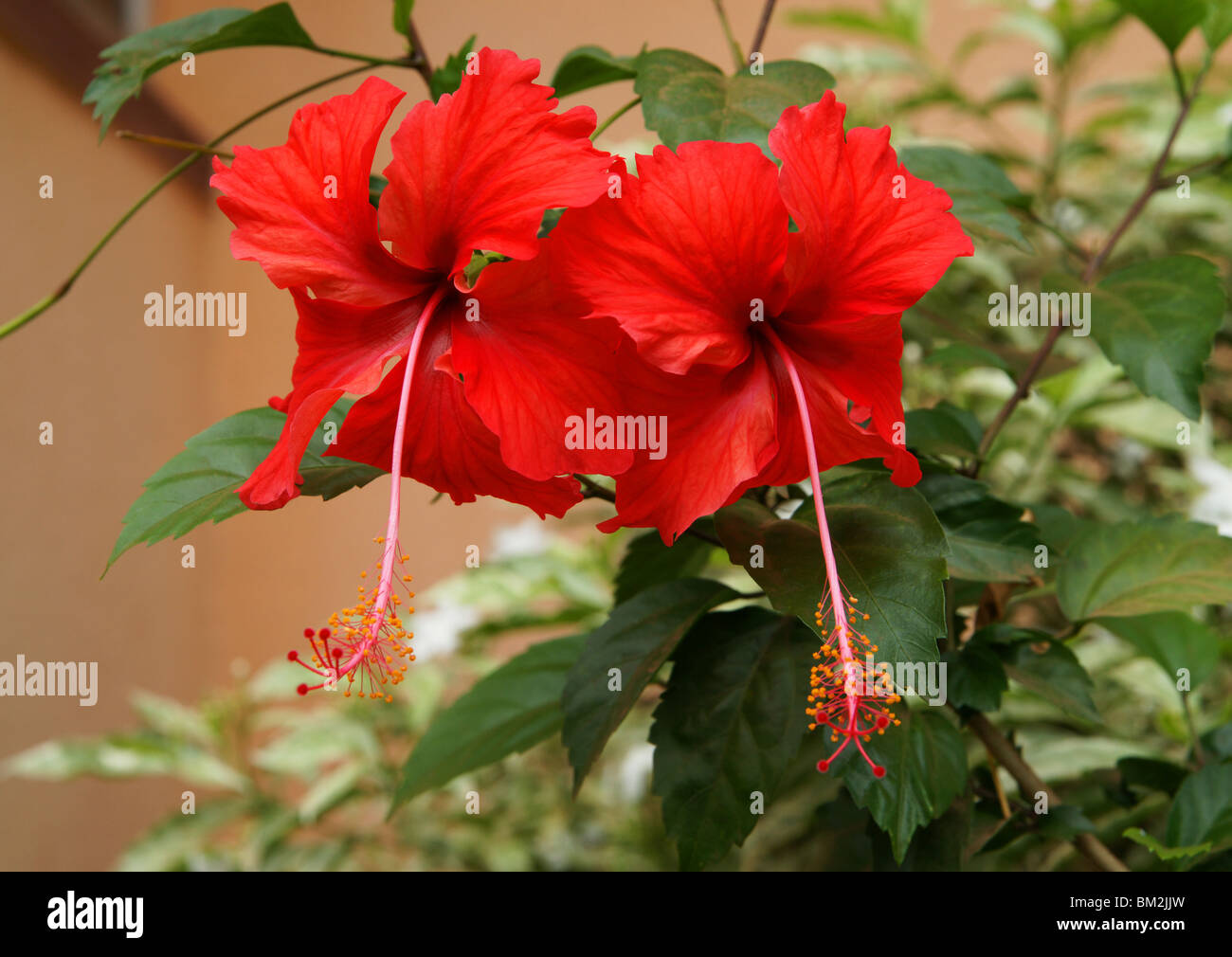 Species of tropical hibiscus stock photos species of tropical there are more than two hundred species of herbs shrubs and small trees sharing the izmirmasajfo