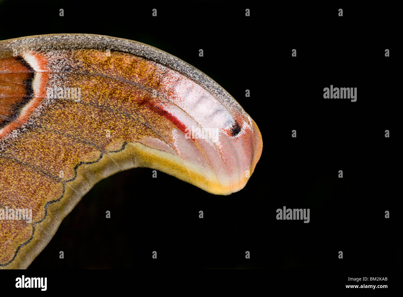 Close-up of wing of Atlas moth (Attacus atlas) - Stock Image