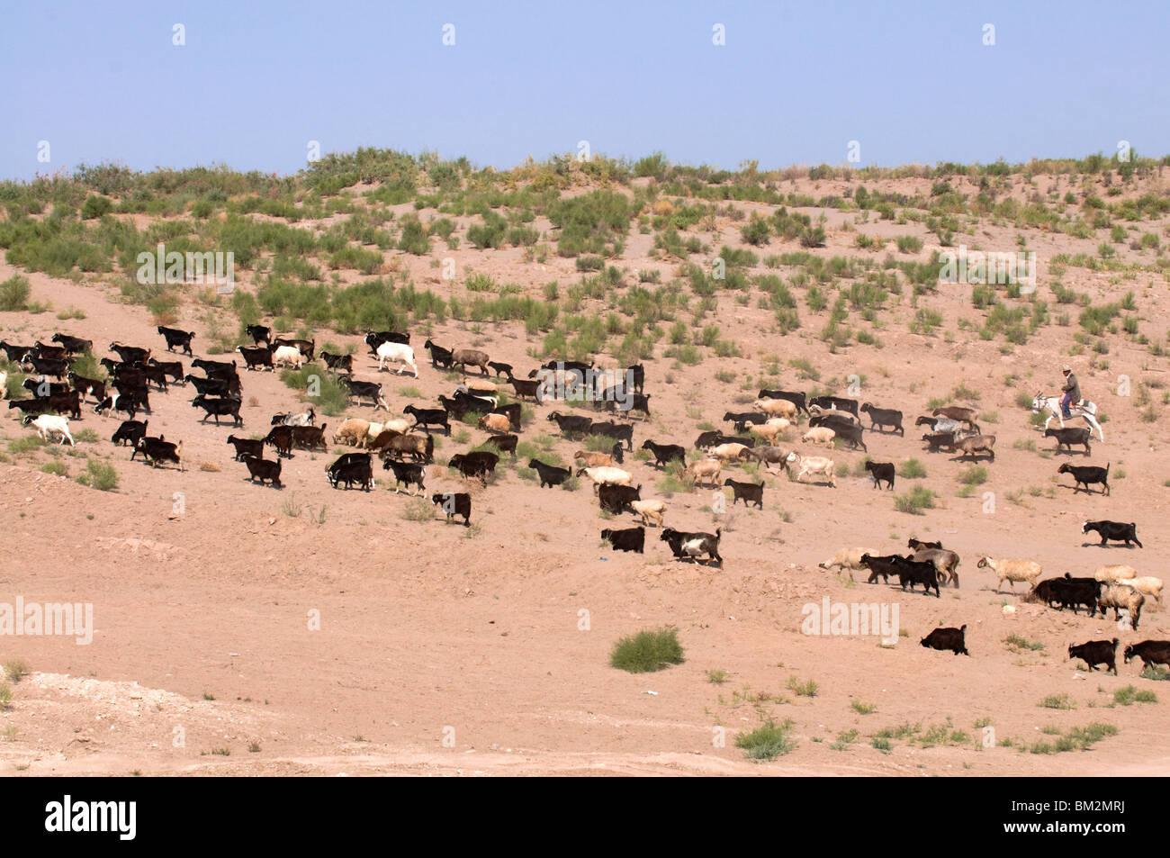 Herd of goats, Karakol desert, Turkmenistan - Stock Image