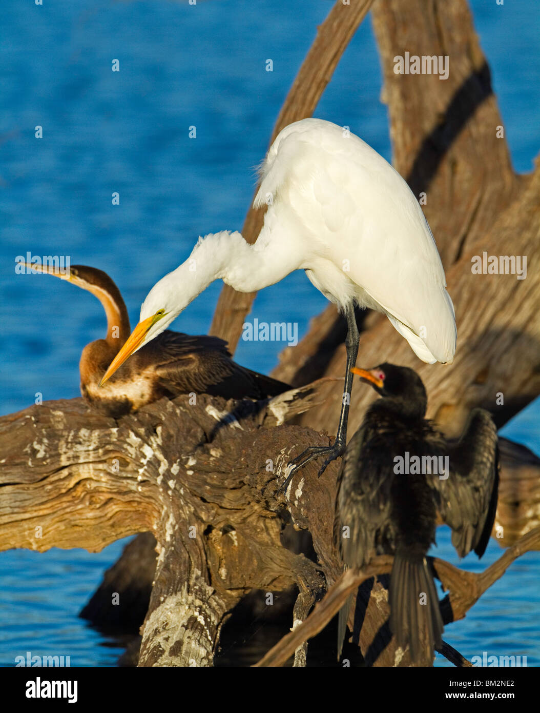 waterbirds - Stock Image