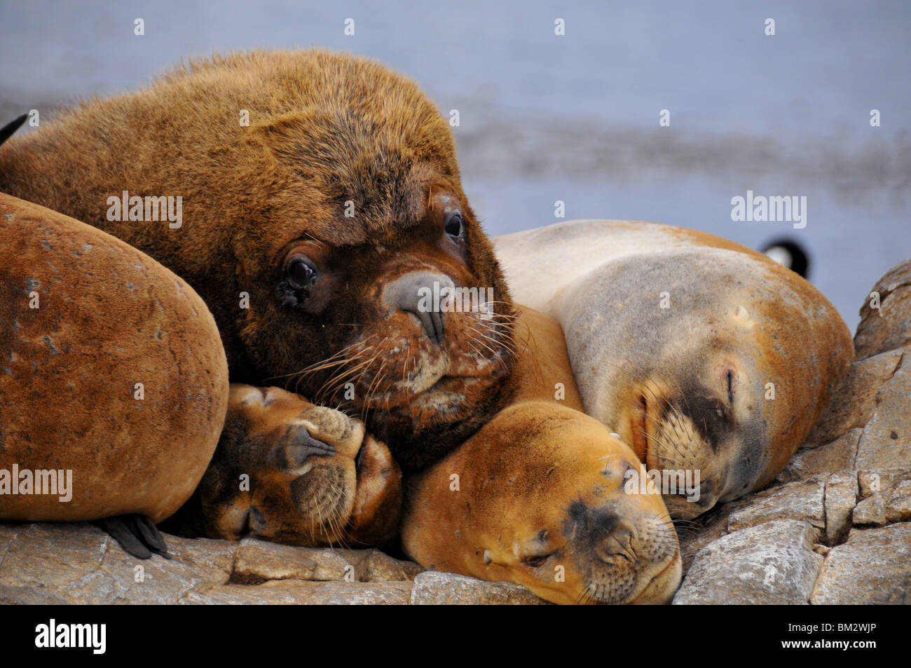 family of sea lions (otaria flavescens) on rocks : females with a big male Stock Photo
