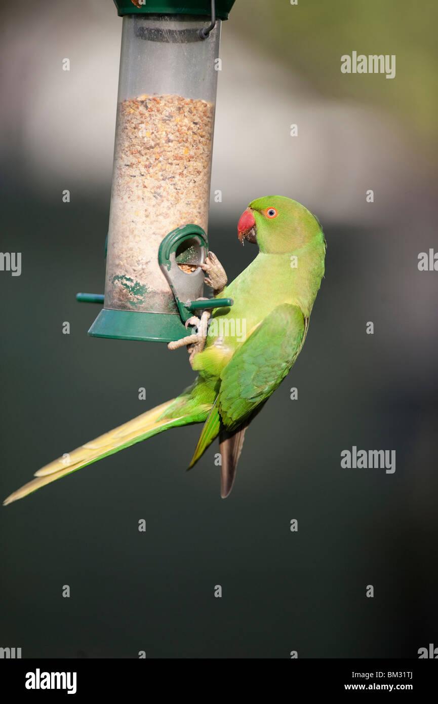 Ringnecked Parakeet, Psittacula krameri, on garden nut feeder, London, England, UK Stock Photo