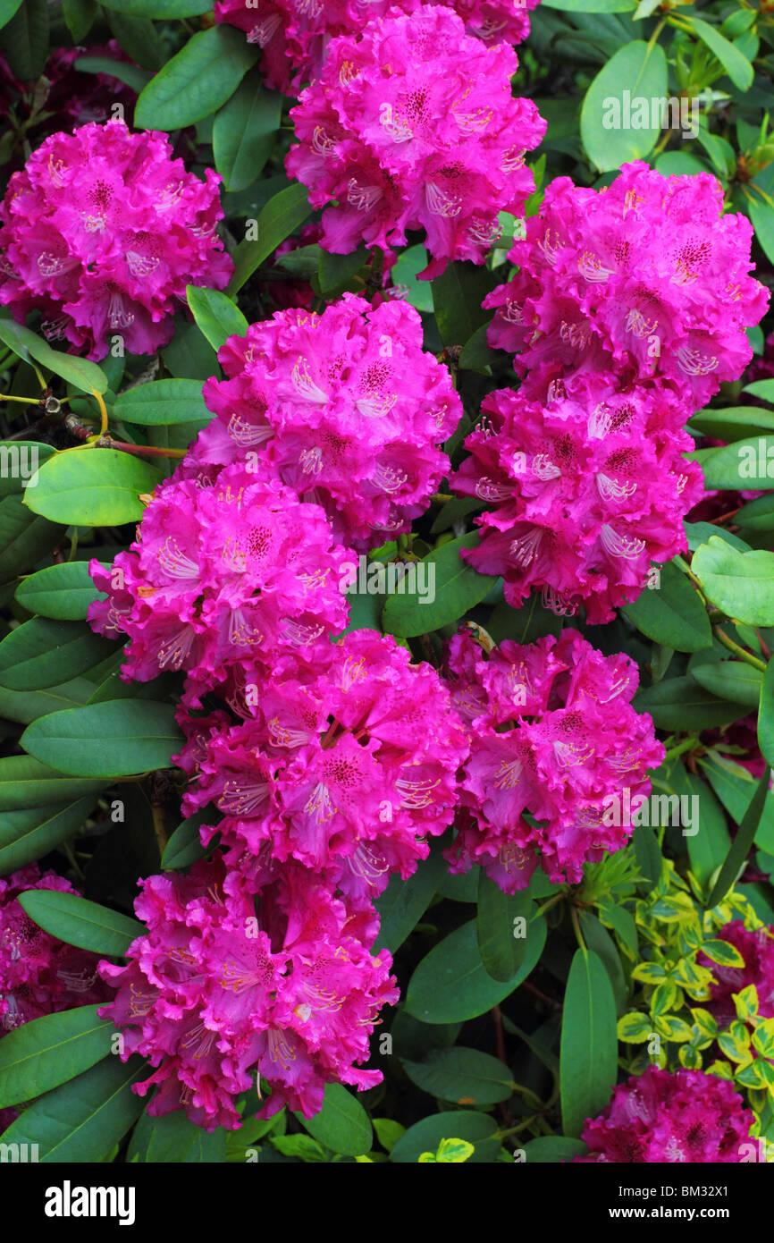 Purple spring rhododendron blossom Stock Photo