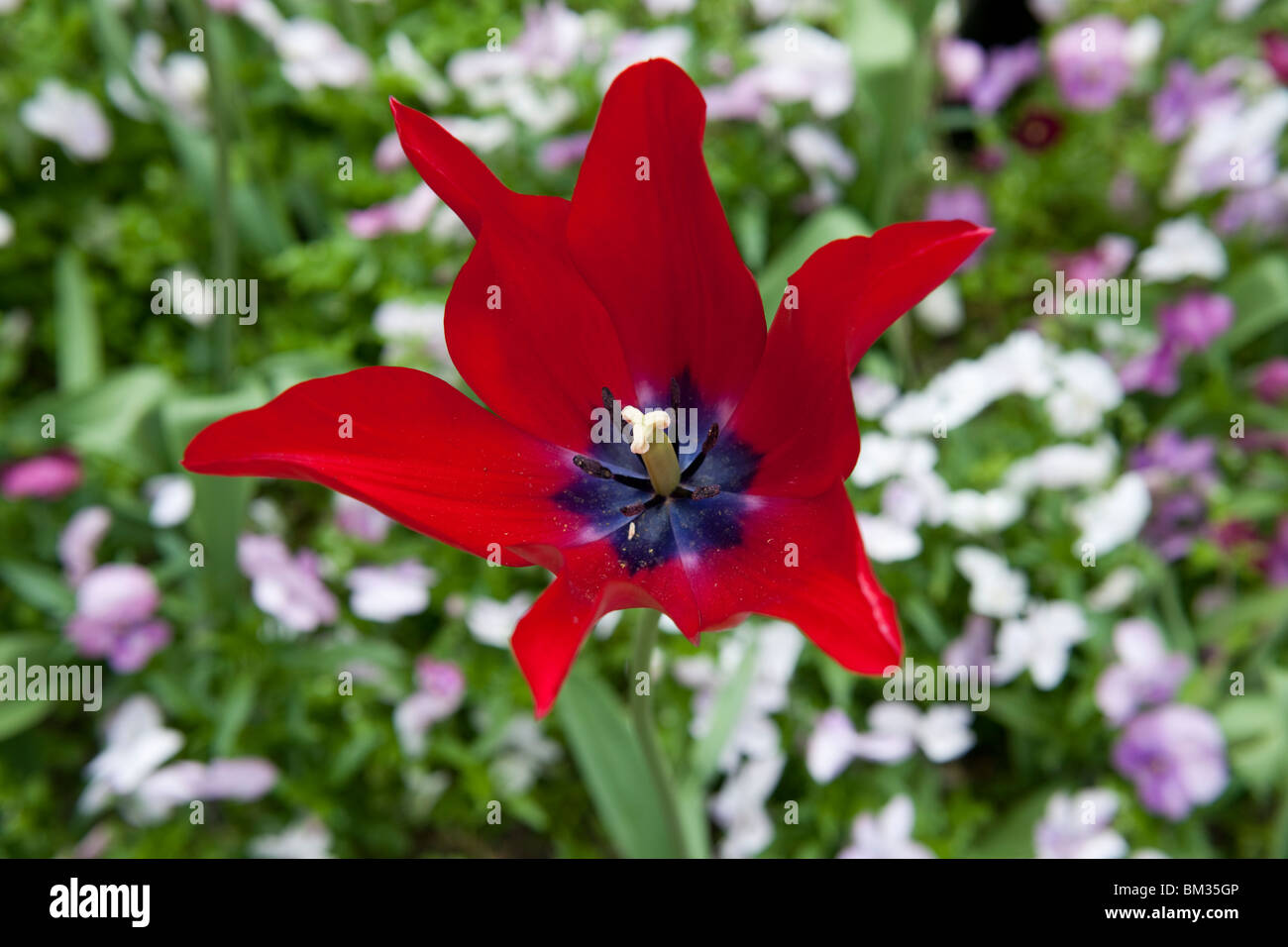 Red Tulip - 1 Stock Photo