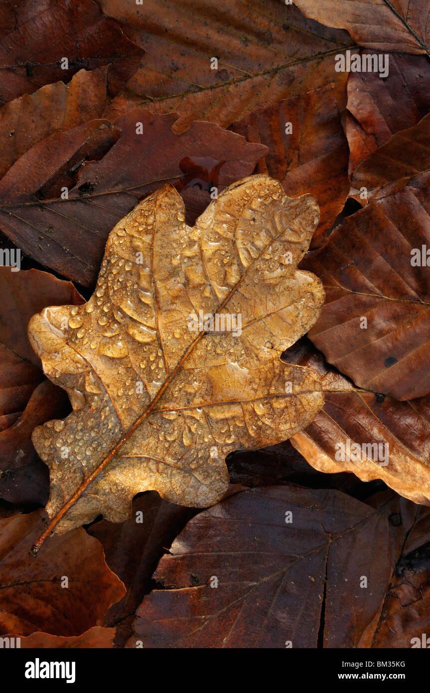 Rain droplets on autumnal oak leaf, Netherlands. Stock Photo