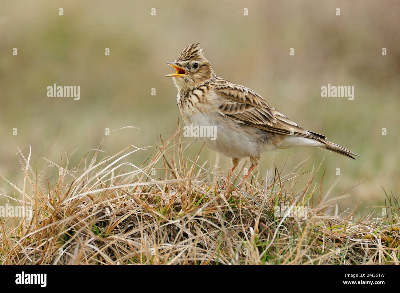 Skylark (Alauda arvensis), adult perched on grass while singing, Netherlands. - Stock Image
