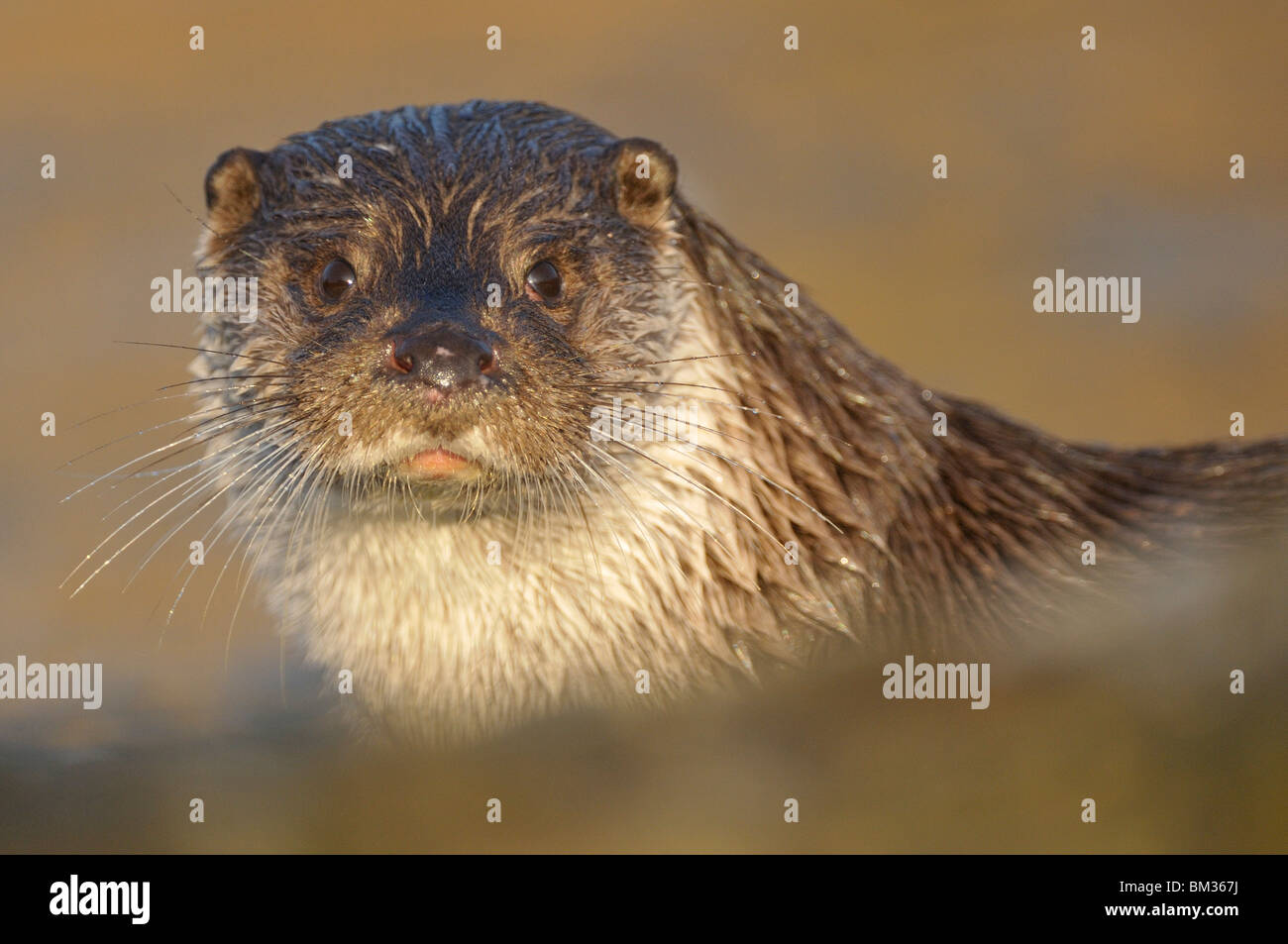 European River Otter (Lutra lutra). An adult pauses after emerging from the river, portrait. - Stock Image