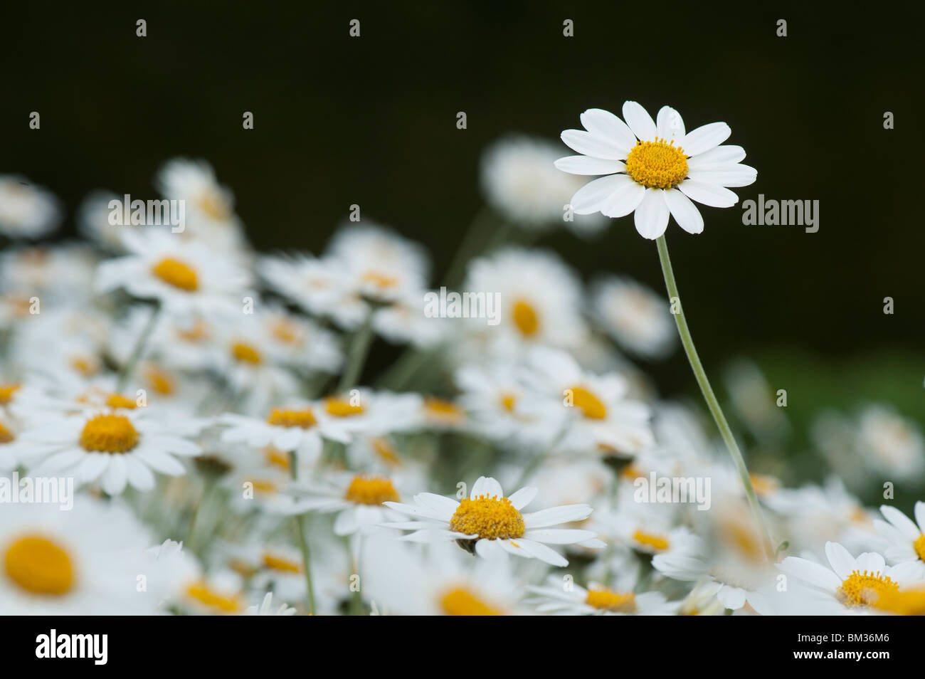 Anthemis Punctata Cupaniana, Sicilian chamomile flowers - Stock Image