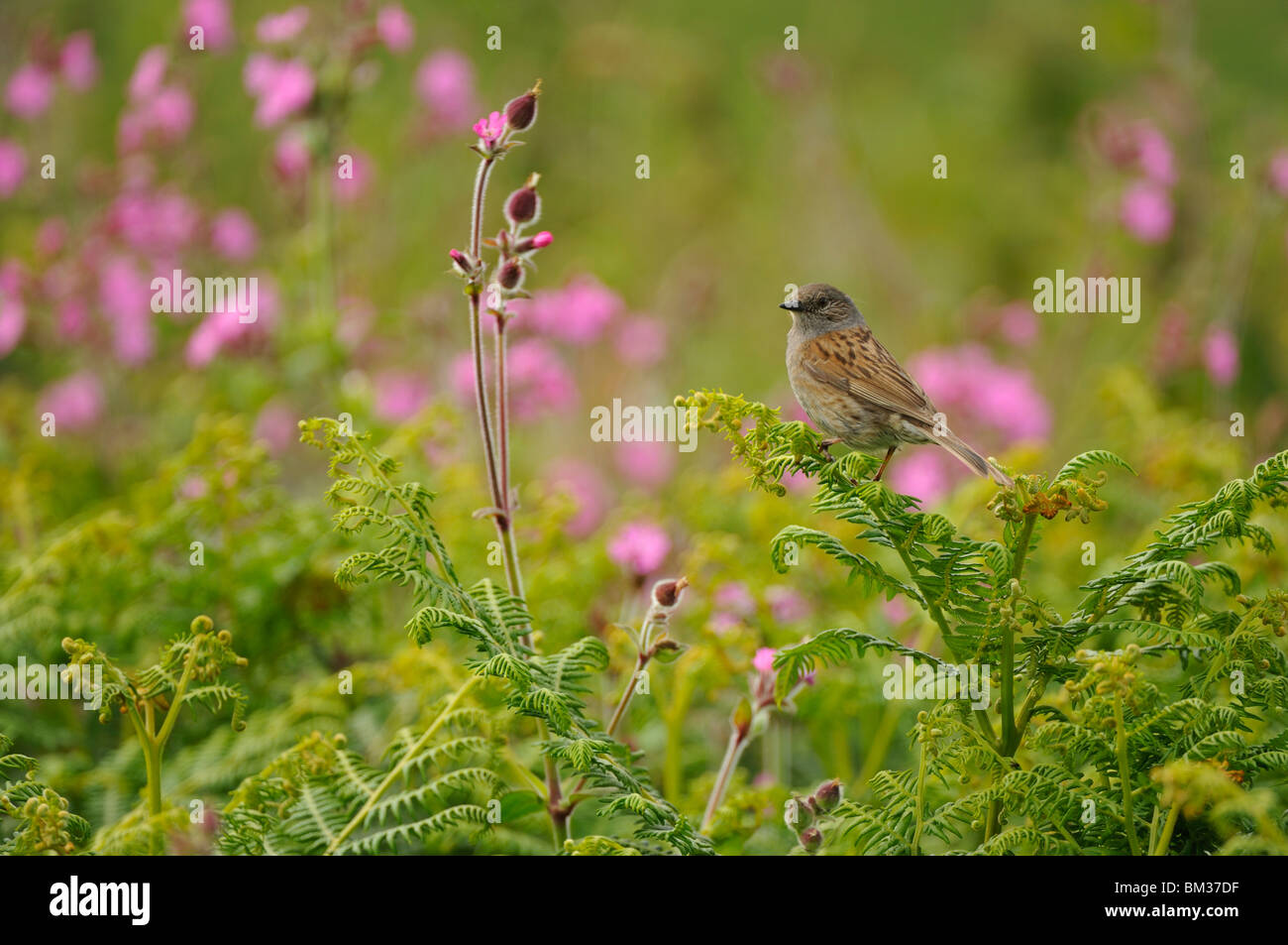 Hedgesparrow, Hedge Accentor, Dunnock (Prunella modularis), adult perched on fern frond next to Red Campion (Silene Stock Photo