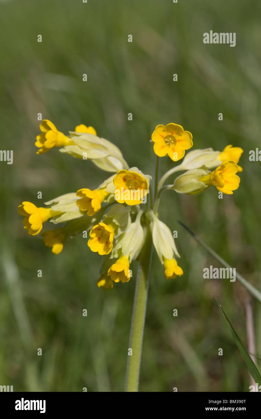 Cowslip [Primula Veris] Stock Photo