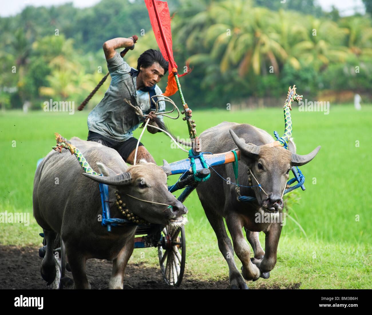 Perancak Bali, practicing for buffalo races, Indonesia - Stock Image