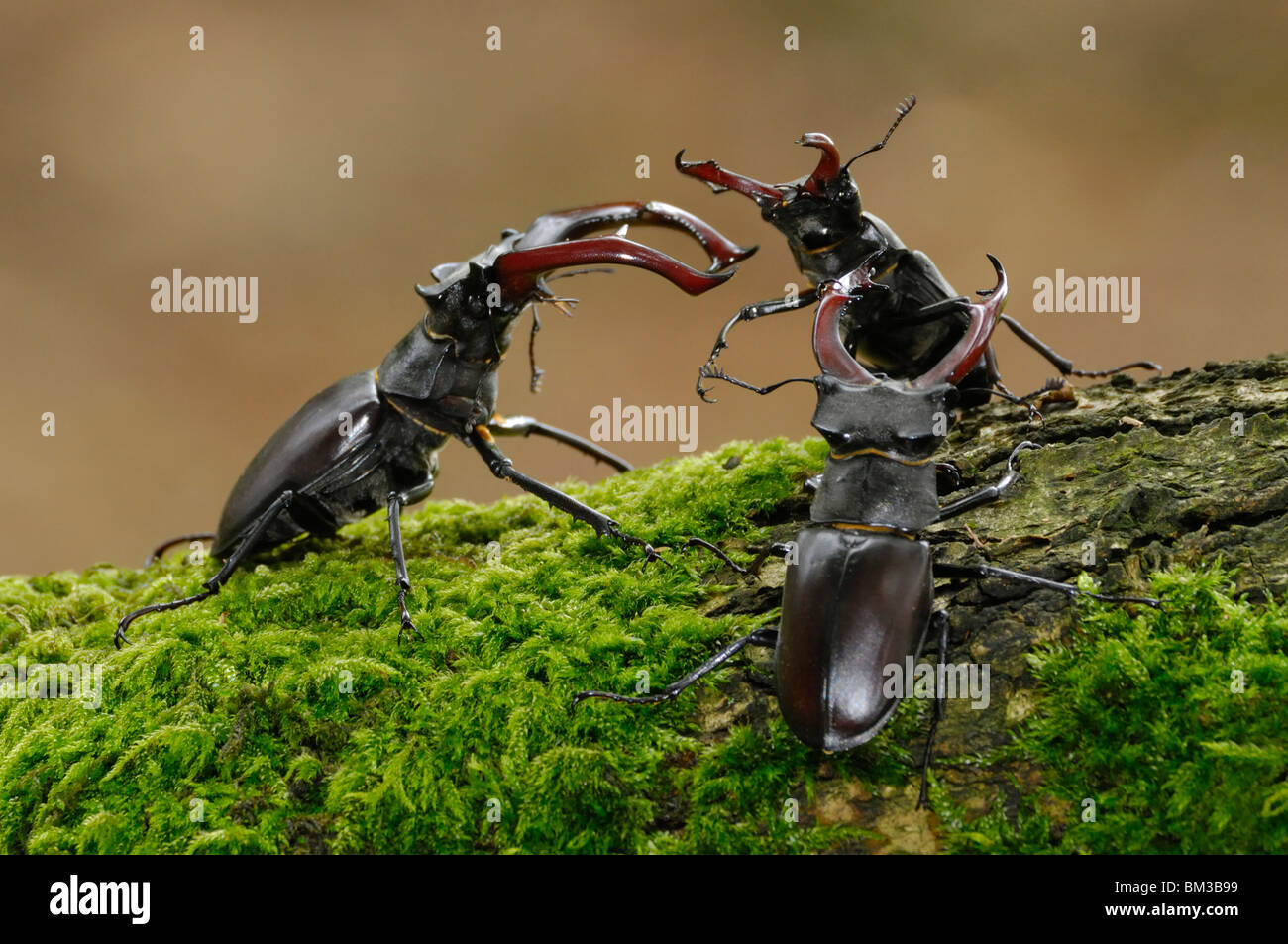 Stag Beetle (Lucanus cervus). Three males wrestling over female on mossy oak in woodland habitat, Netherlands. - Stock Image