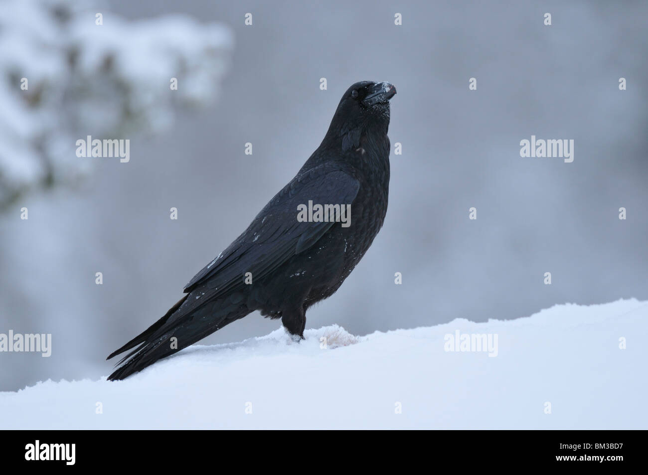 Common Raven (Corvus corax), adult perched on snow. - Stock Image
