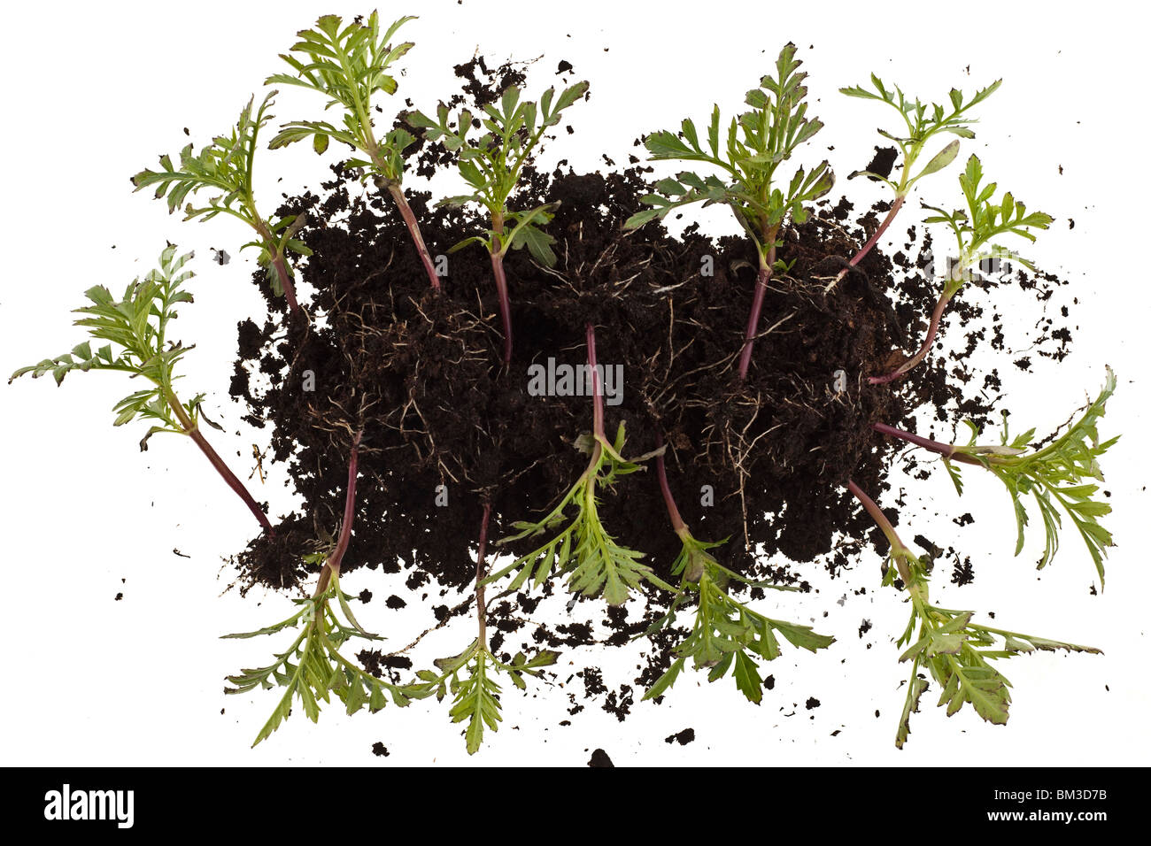 Pile of dwarf marigold seedlings ready for transplanting - Stock Image