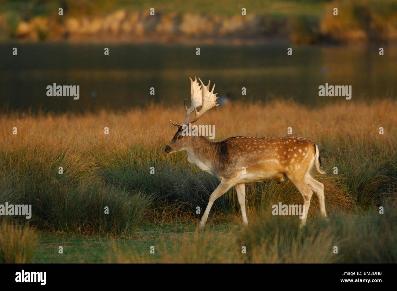 Fallow deer buck (dama dama), male, autumntime. Lorraine, France - Stock Image