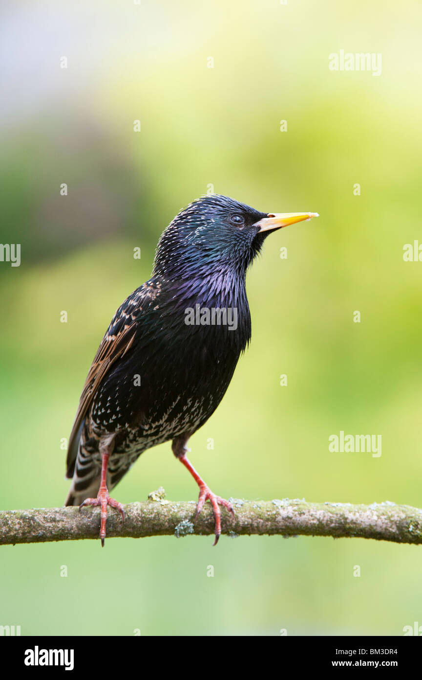 Sturnus vulgaris. Starling on a tree branch in and english garden - Stock Image