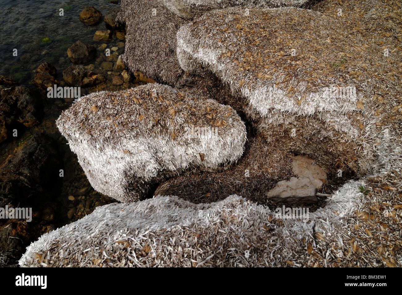 Bed of Dried Seagrass Île Saint Honorat, or Saint Honorat Island, Mediterranean Coast or Shoreline, Côte - Stock Image