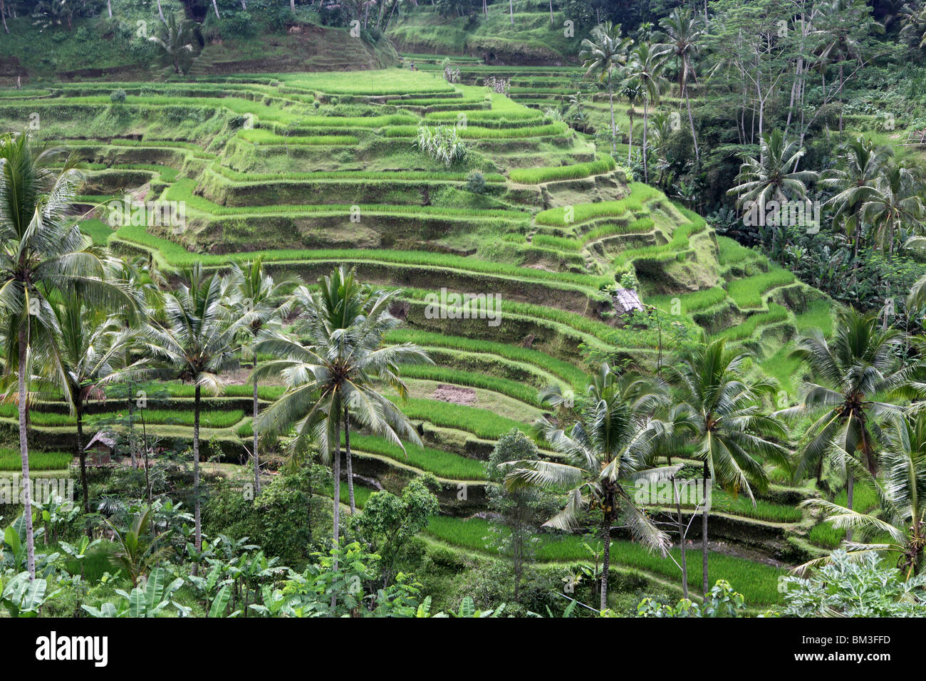 Terraced rice paddies in the countryside of Bali, Indonesia. - Stock Image
