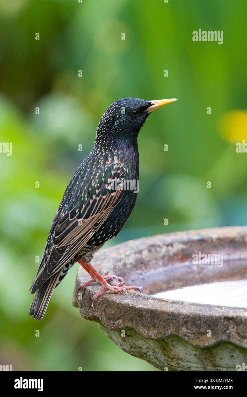 Sturnus vulgaris. Starling on a birdbath in an english garden - Stock Image