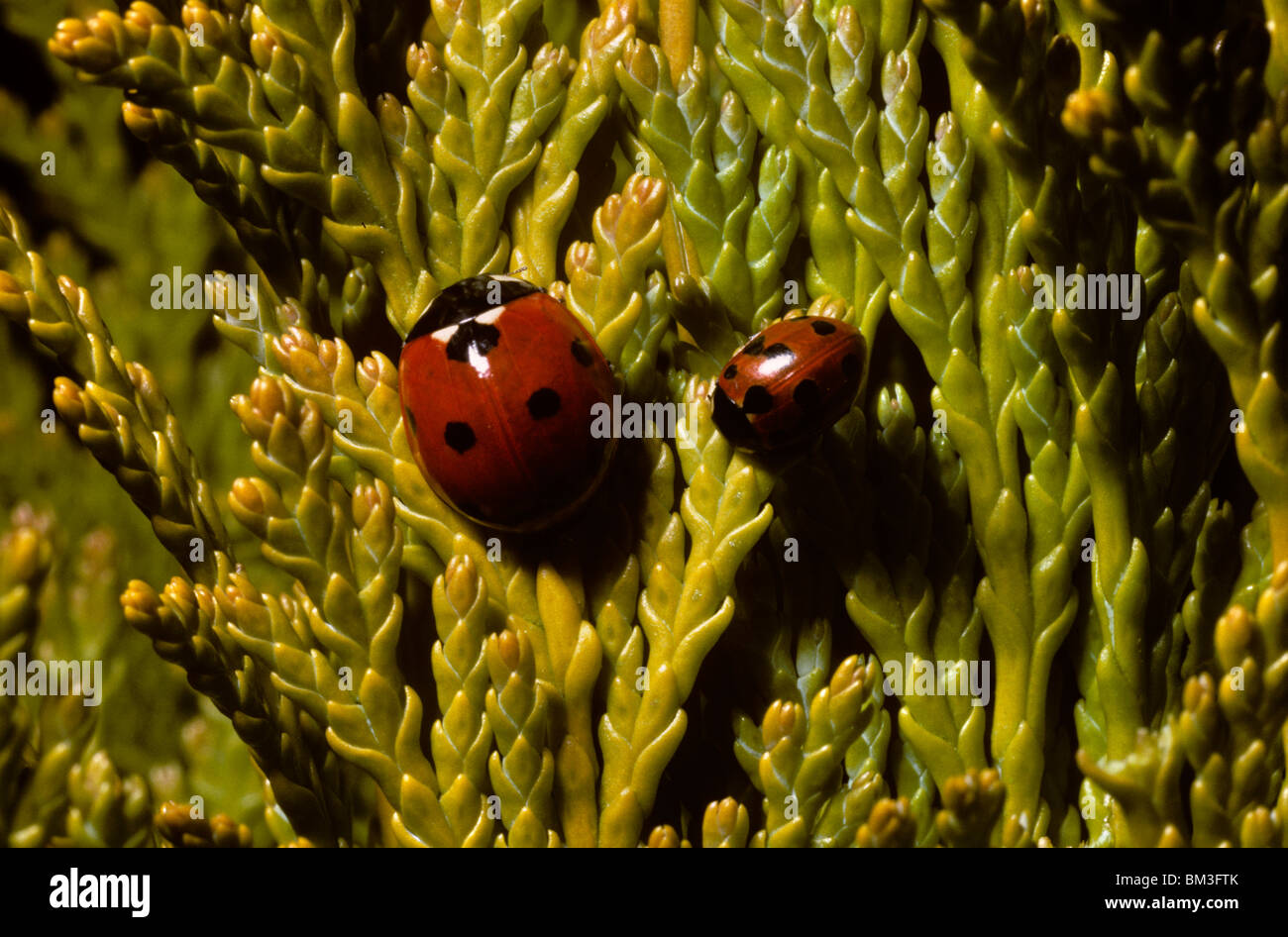 Eleven spot ladybird (Coccinella 11-punctata: Coccinellidae) on the right in the company of a much larger 7-spot - Stock Image