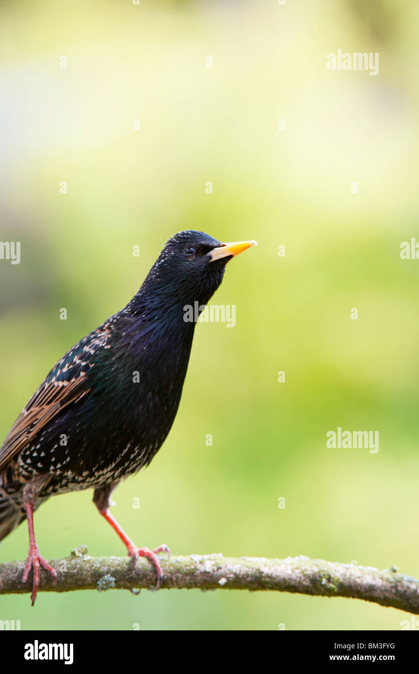 Sturnus vulgaris. Starling on a tree branch in an english garden. UK - Stock Image