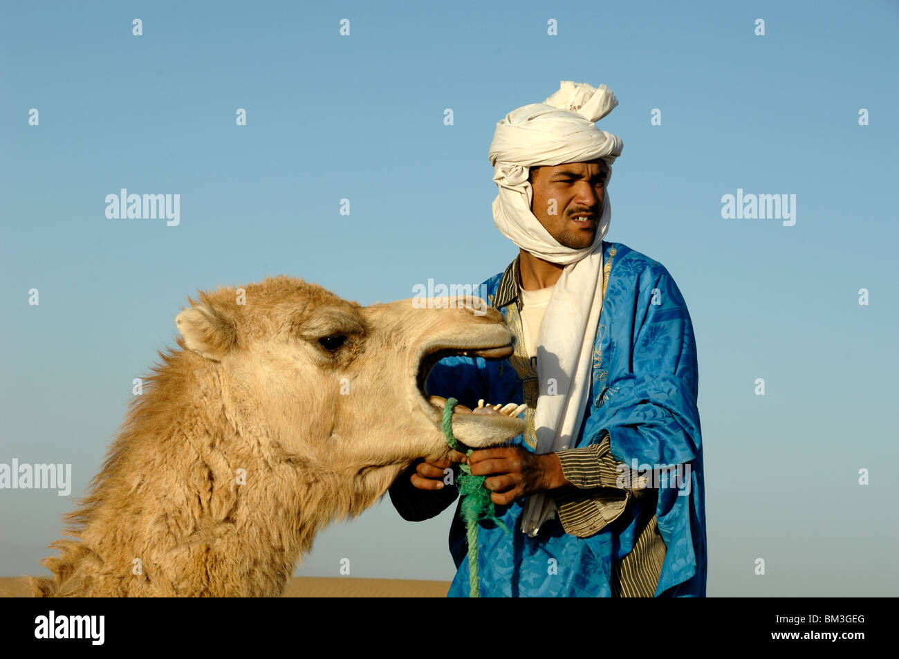 Berber in Blue Tunic & White Head-dress Preparing Camel or Dromedary for Desert Camel Ride near Zagora, Sahara - Stock Image