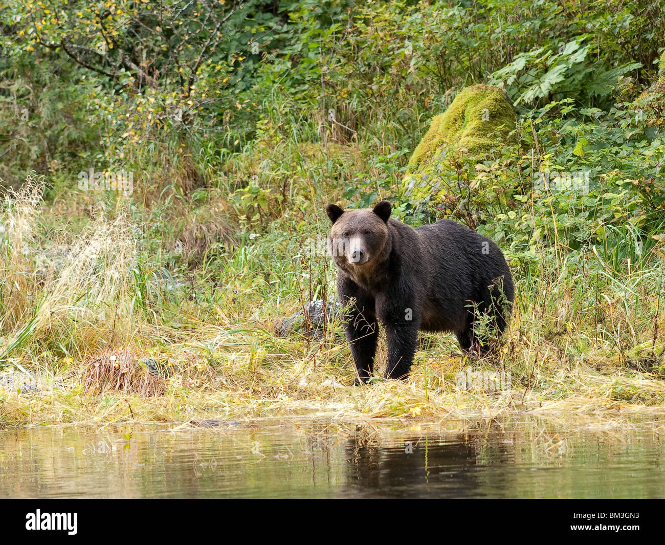 Grizzly bear, Ursus arctos horribilis, standing on the riverside - Stock Image