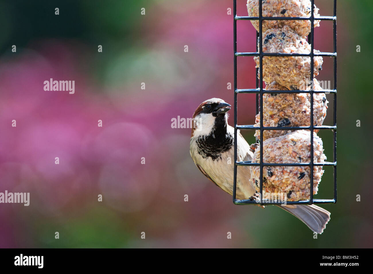 Passer domesticus. Male house sparrow feeding on a suet ball feeder - Stock Image
