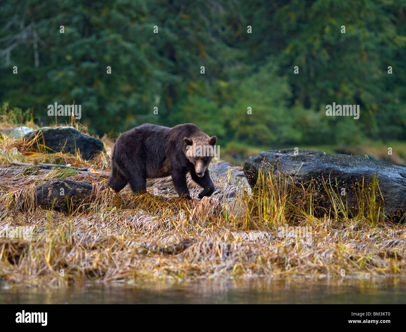 grizzy bear, ursus arctos horribilis, walking along the rivers Stock Photo