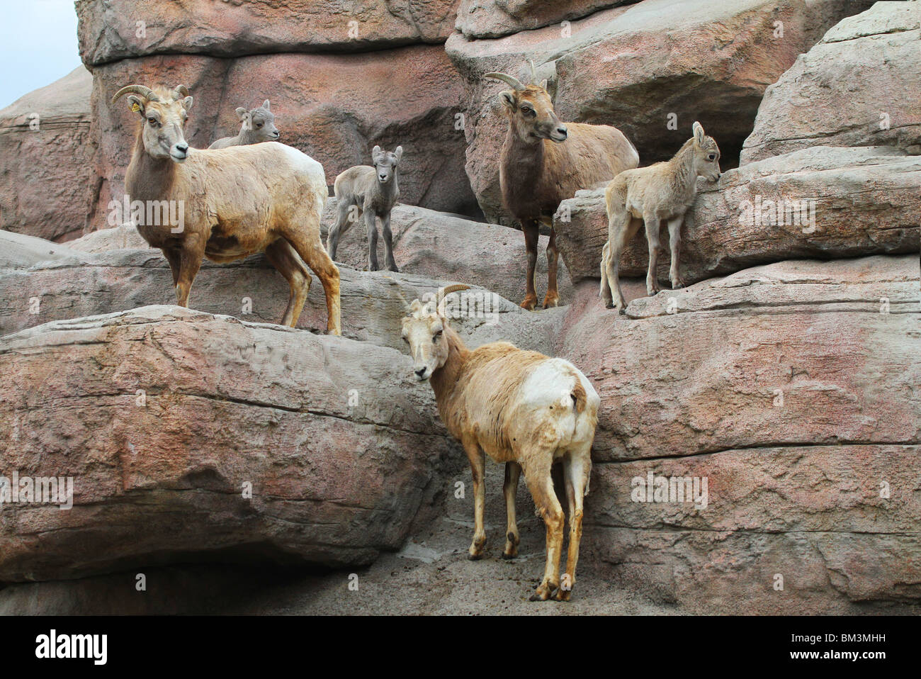 MS-369D, THREE BIGHORN SHEEP EWES AND LAMBS - Stock Image