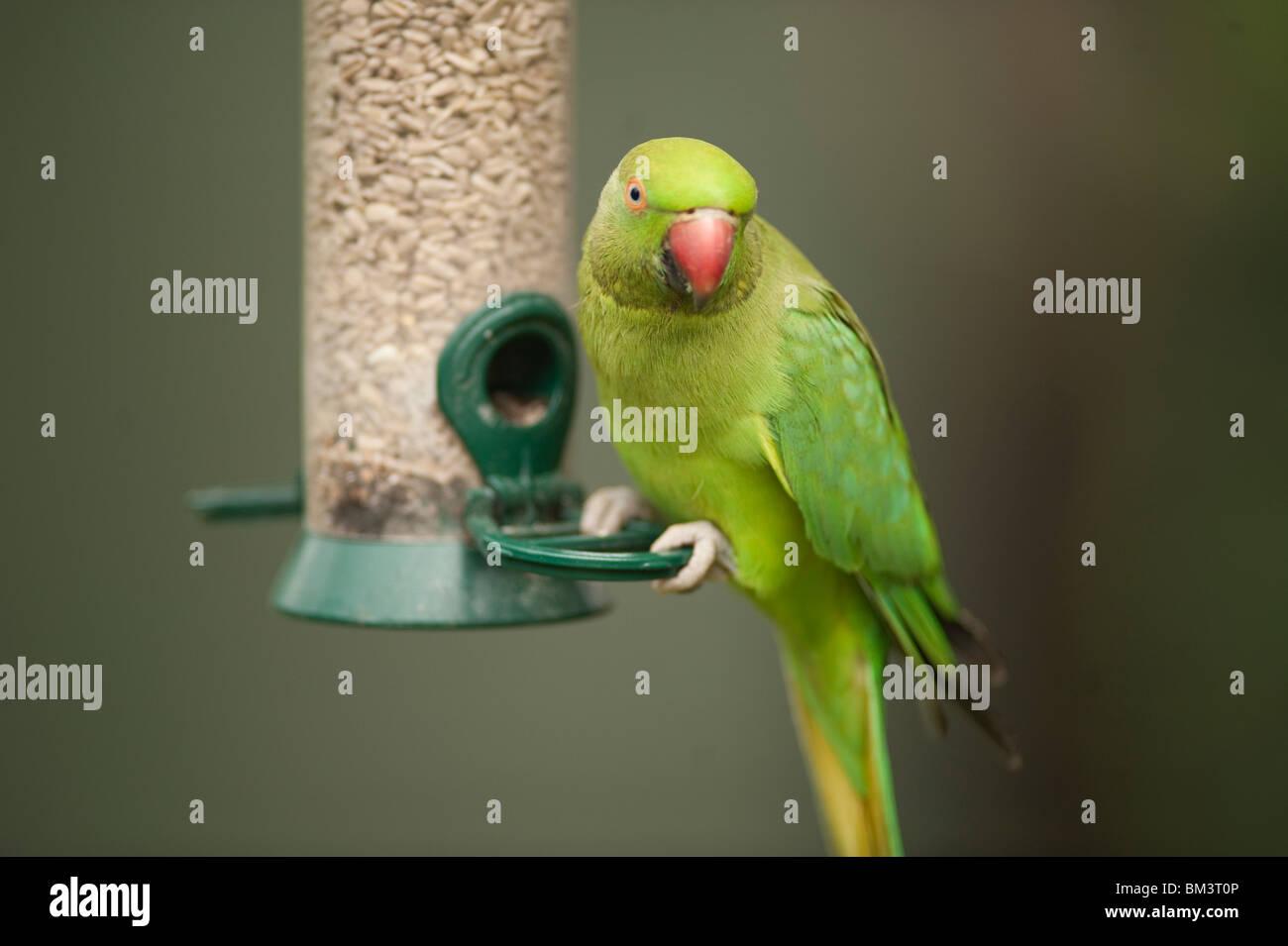 Ring Necked Parakeet, Psittacula krameri, on garden bird feeder, Wimbledon, London, UK Stock Photo