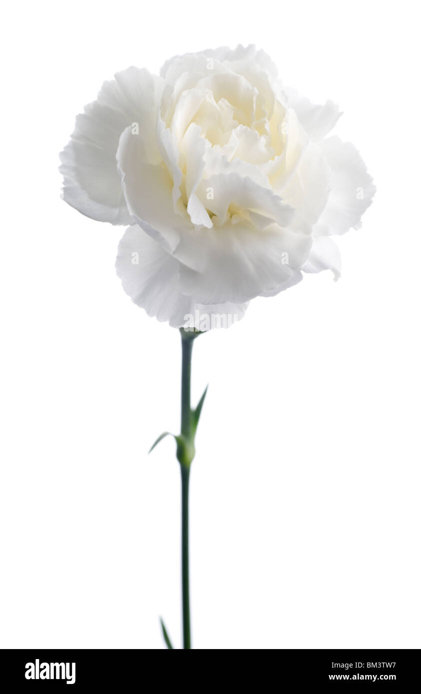 Carnation Flower Cut Out Stock Images Pictures Alamy