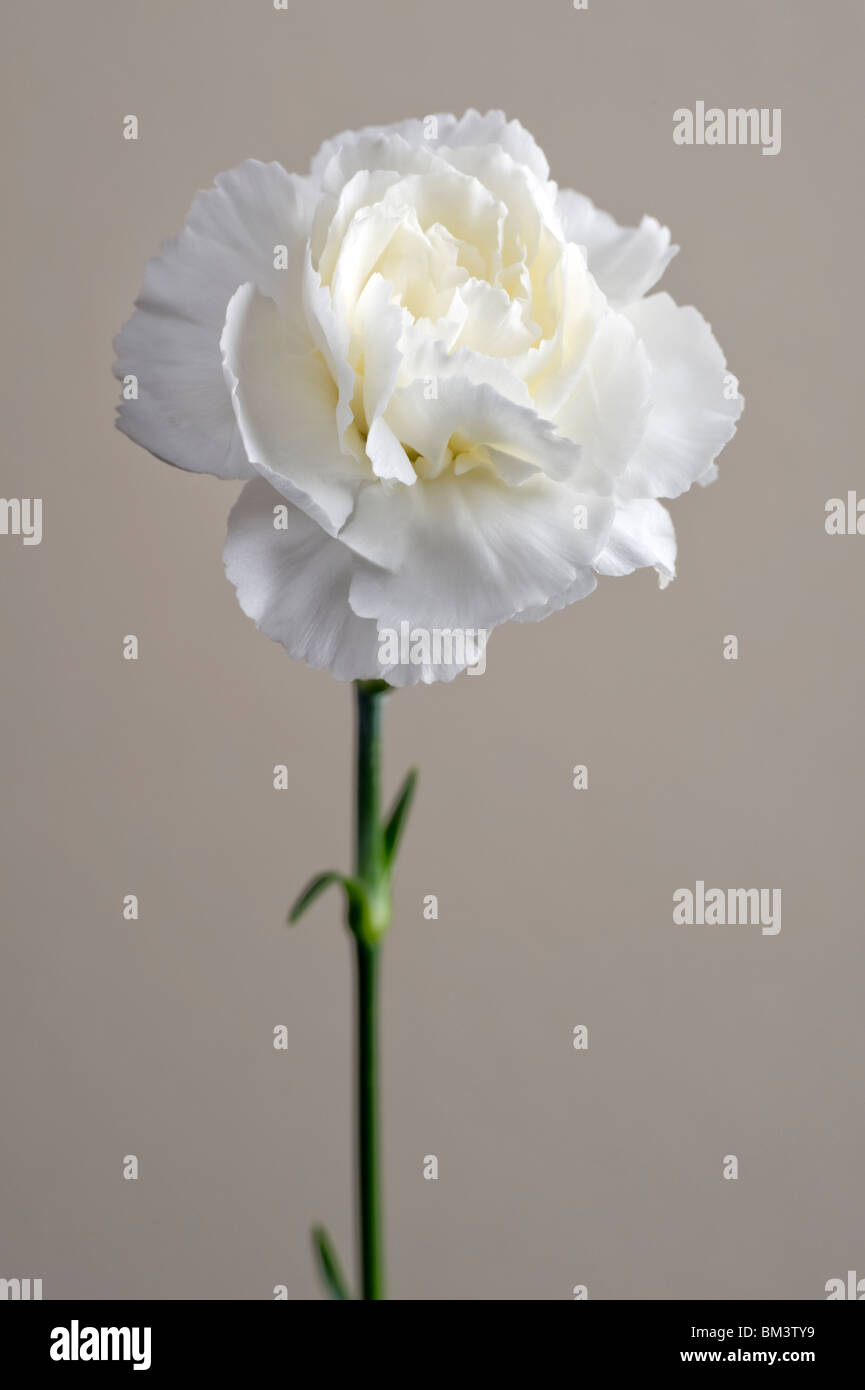 White Carnation Stock Photos & White Carnation Stock Images - Alamy