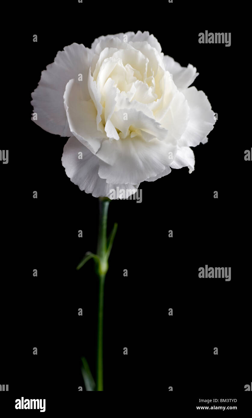 White Carnation Flower Stock Photos & White Carnation Flower Stock ...